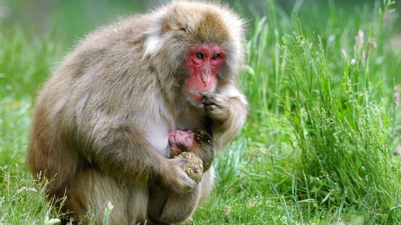 Baby snow monkey and mother