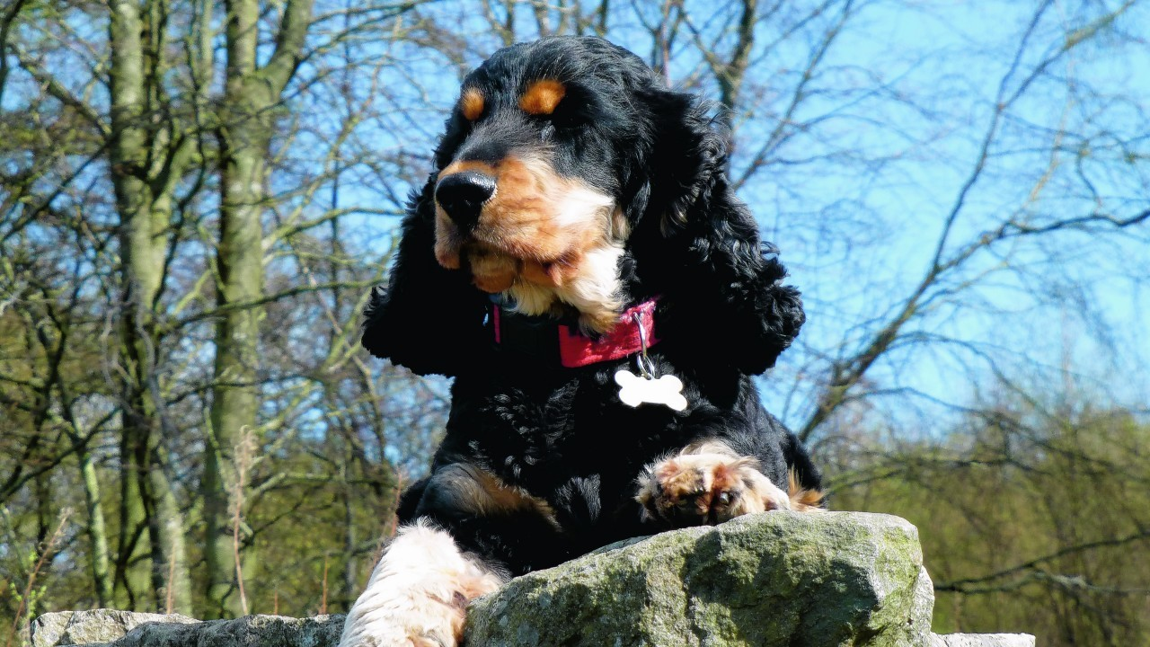 Bailey is a three year old cocker spaniel who lives in Cove with Steve and Louise.