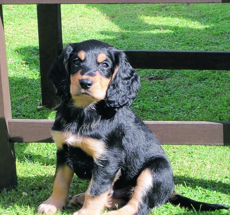 Freddy the cocker spaniel at 10 weeks old who lives in Turriff with Sonia and Cody Fraser.