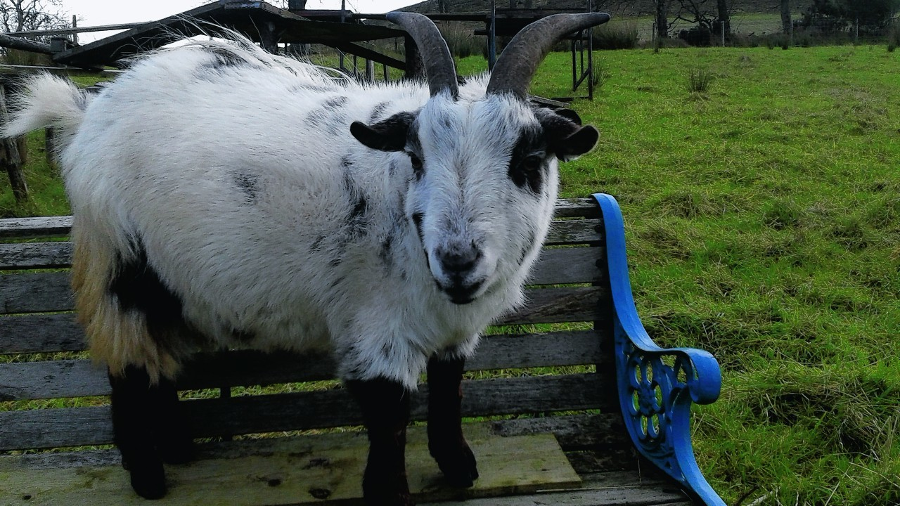 Pygmy goat Lionel lives with Nick and Cheryl Margiotta at Auchenblae, along with his twin brother Marvin.