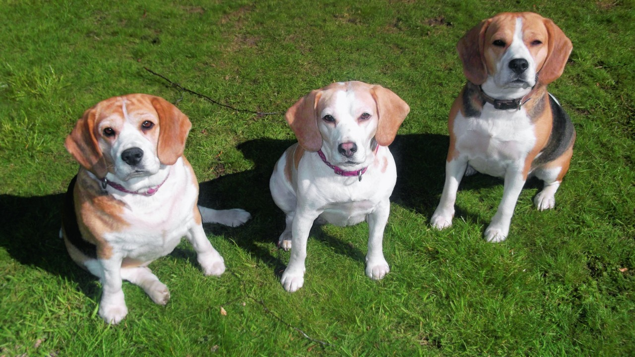 These are beagles Marla, Star and Heidi. They live with Alice and Lucy Fraser in Kintessack, near Forres.