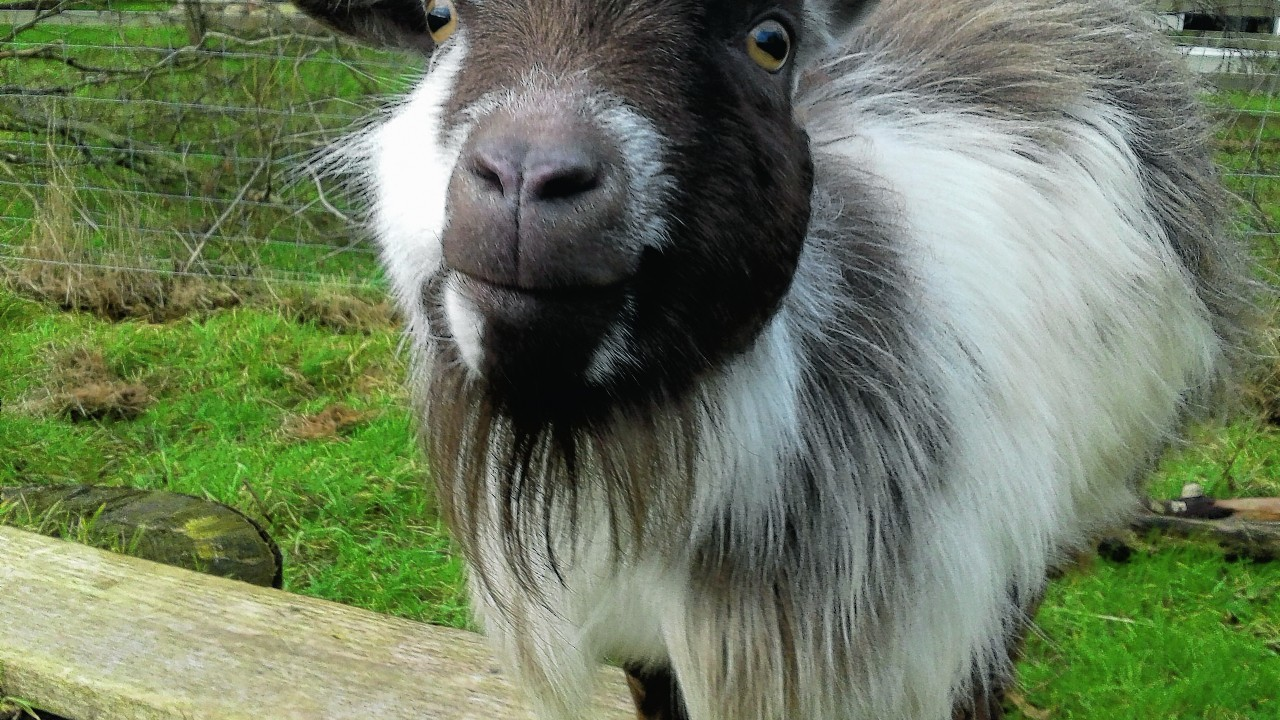 Pygmy goat Marvin lives with Nick and Cheryl Margiotta at Auchenblae, along with his twin brother Lionel.