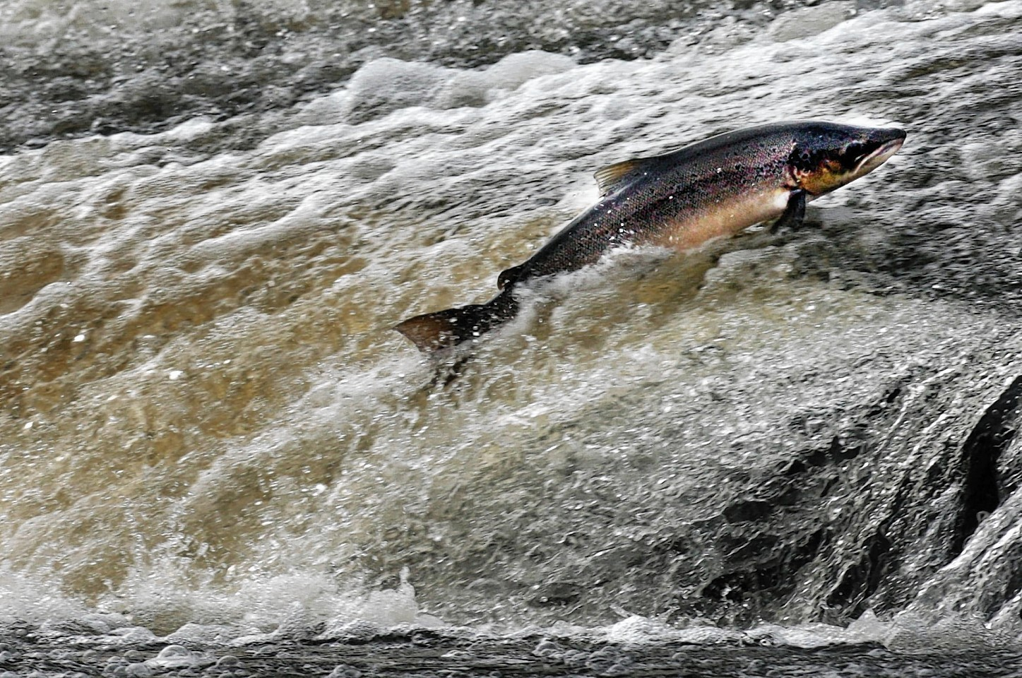 "Conservation group claims salmon runs ""one of worst in living memory""."