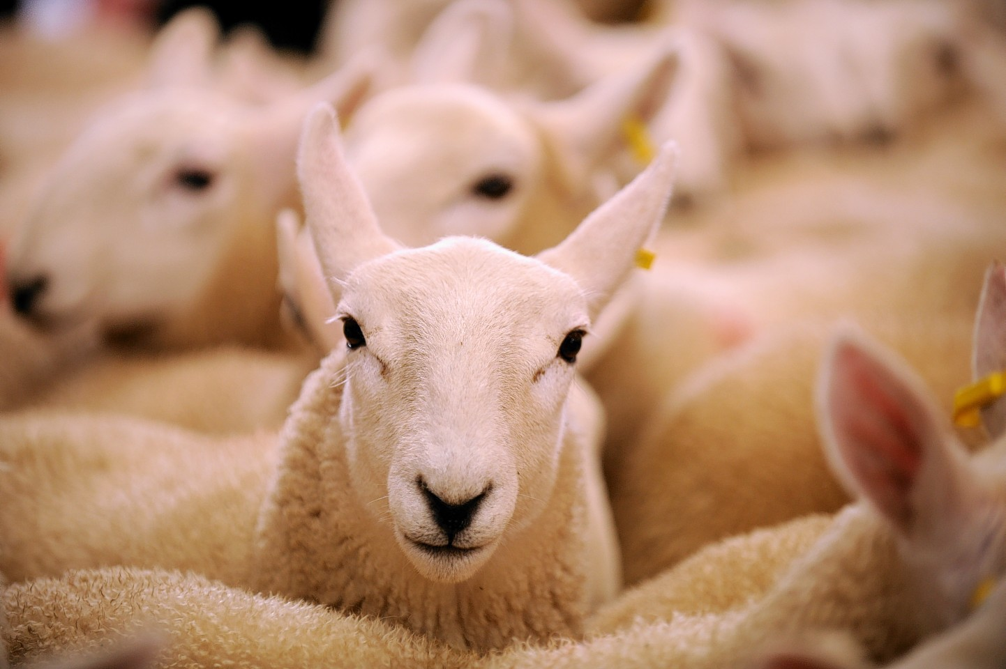 Lamb prices have been hit by currency rates