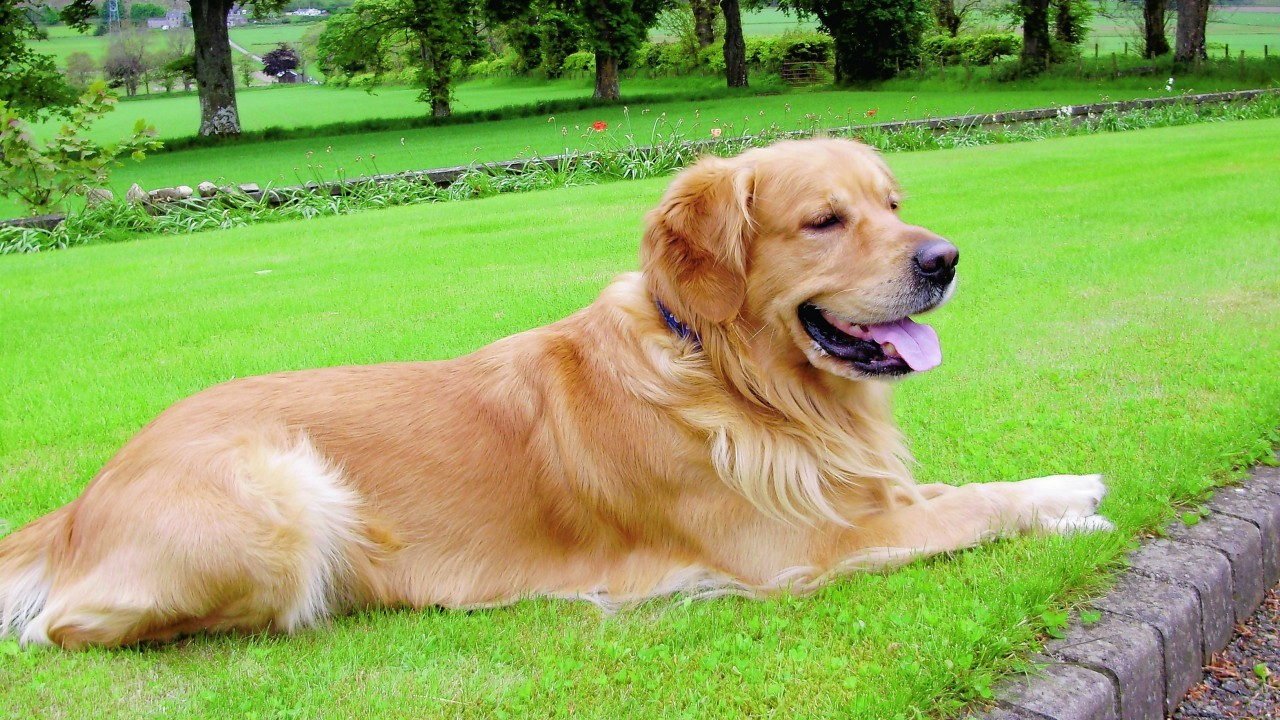 Brogan the golden retriever on his holidays with Louise Forbes in Grange.