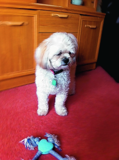 Two year old lhasa apso Laddie lives with Kathleen and Billy Bain at Piperhill, Nairn.