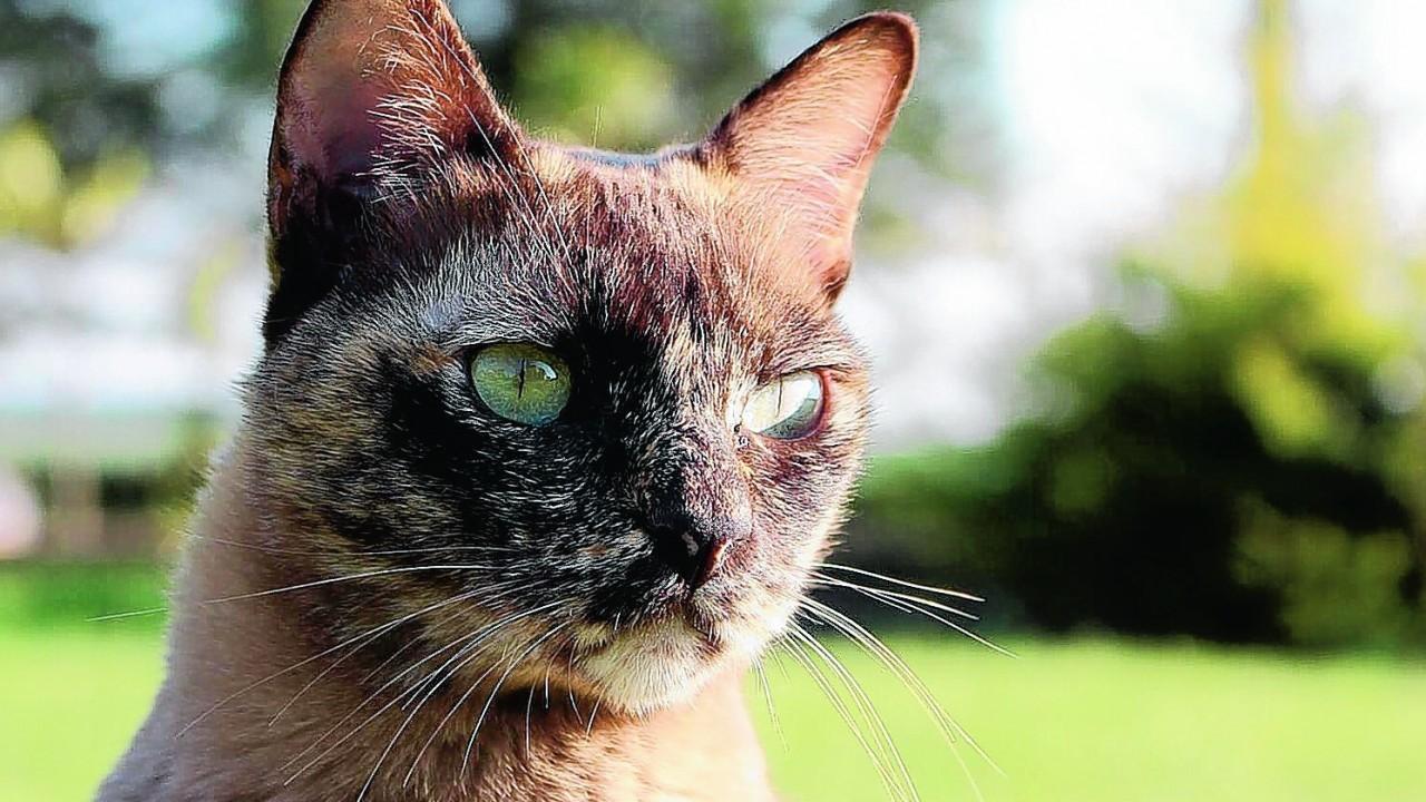 Meet our winner this week. Seska the chocolate Tortie Burmese cat lives with the Reid family at Crudie, Aberdeenshire.