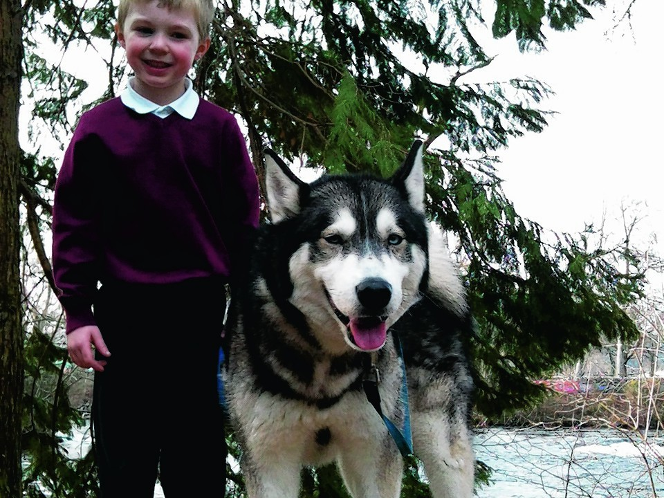 Tikaani, who will be eight in November, is a Siberian husky cross Alaskan malamute with his little brother Deacon enjoying a walk in Ness islands, Inverness. He is  owned by Lisa Mckelvie and Steven Walker from Inverness.