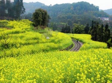 Rape seed flowers in Qianwei