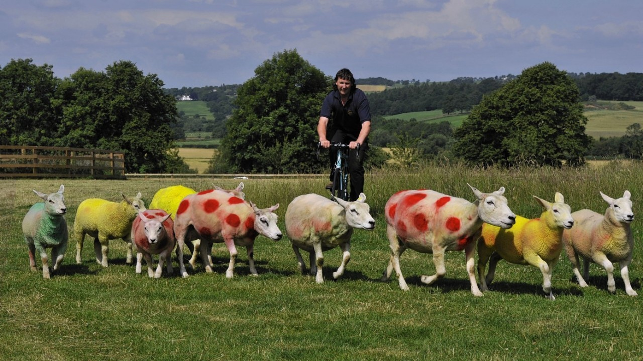 Farmer Keith Chapman, a keen cycler, painted his flock in the Yellow Race leaders jersey