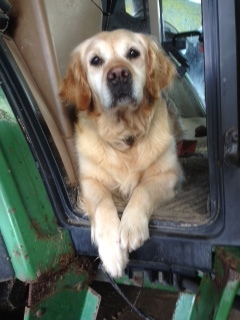 Maddie the golden retriever lives with Steven, Elaine and Ailsa in Deerness, Orkney.