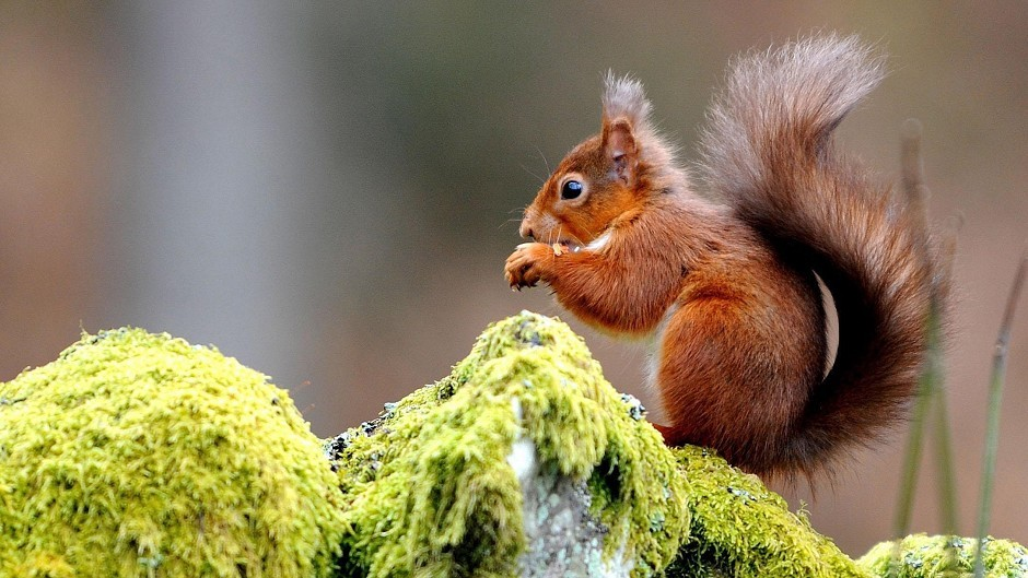 Red squirrel numbers are said to be increasing in Aberdeen's woodlands
