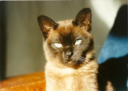 Peanut the Burmilla kitten lives with Sandra Athawes in Aberdeen.