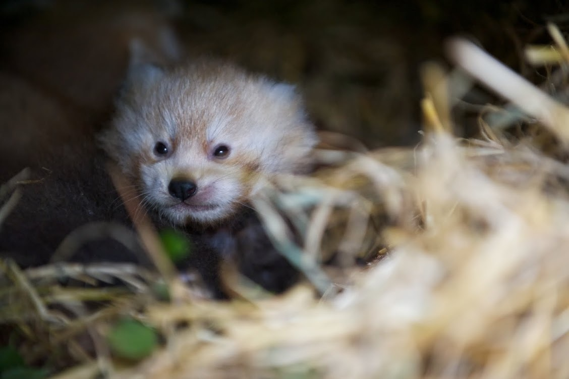 One of the red panda kits born at the Highland Wildlife Park