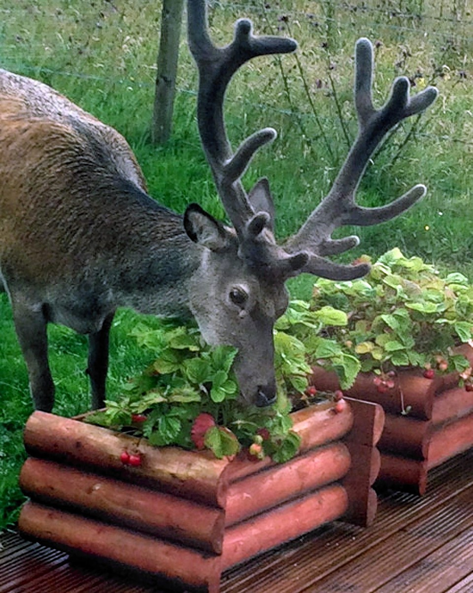 Banavie near Fort William have had daily visits from the young strawberry eating deer