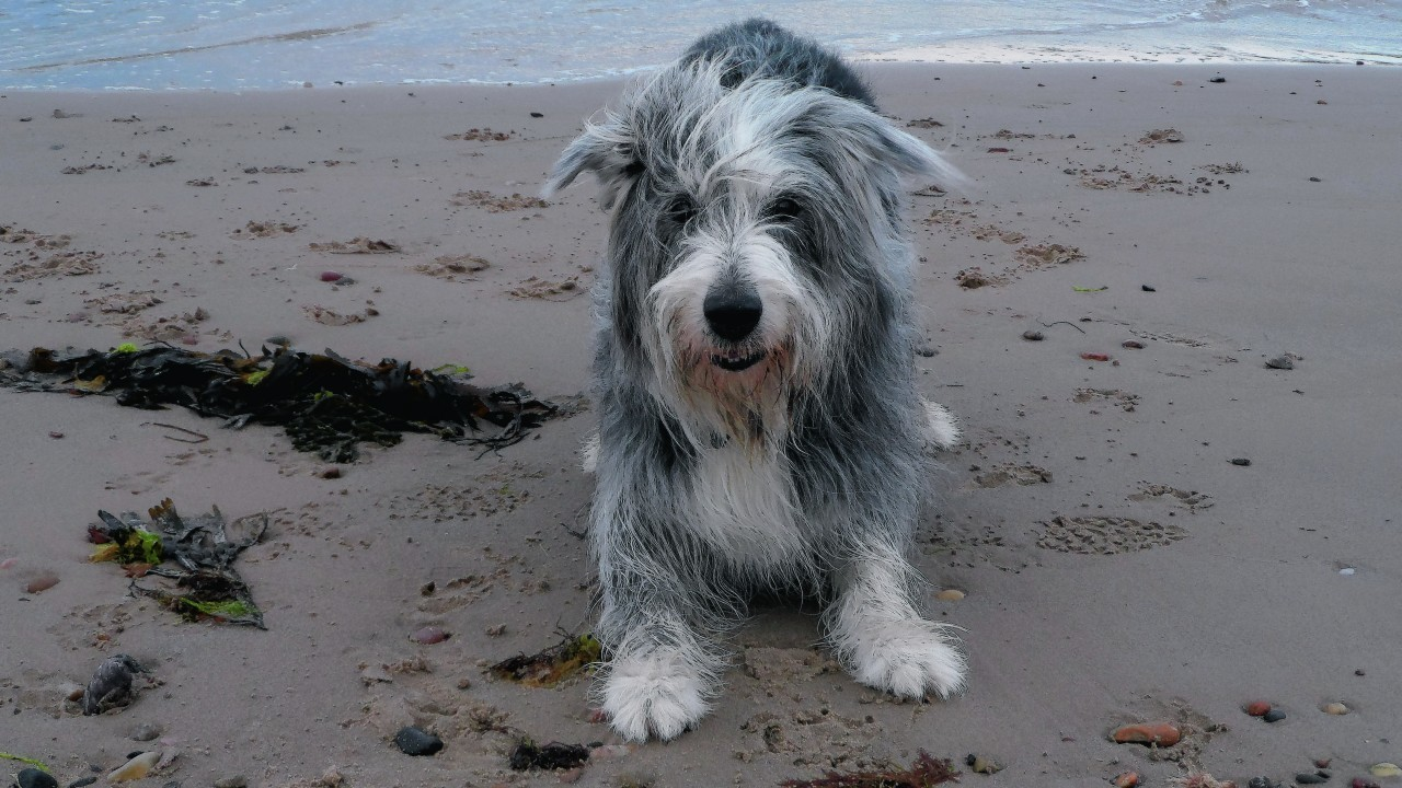 Corrie the bearded collie lives with the Beck family at New Elgin, Elgin.