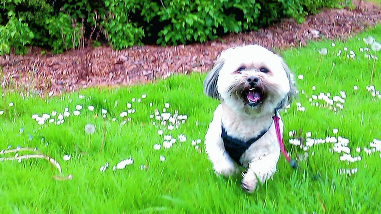Meet Holly who lives with Helen and John in Portknockie, chasing the dandelions at Cooper Park, Elgin.