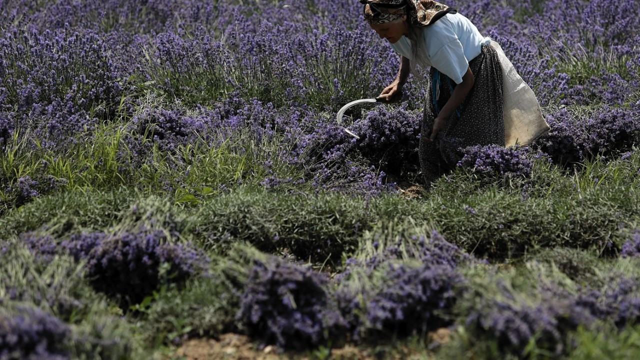 "A worker reaps lavender flowers during harvest season near village of Tarnichane in Bulgaria's ""Rose valley"", 125 miles east of the capital Sofia"