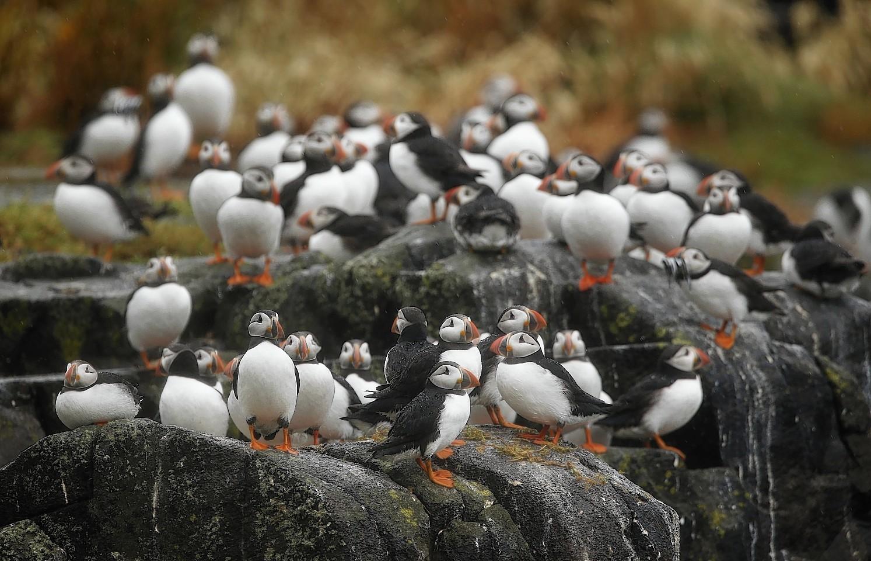 Puffins at Sumburgh Head, Shetland,
