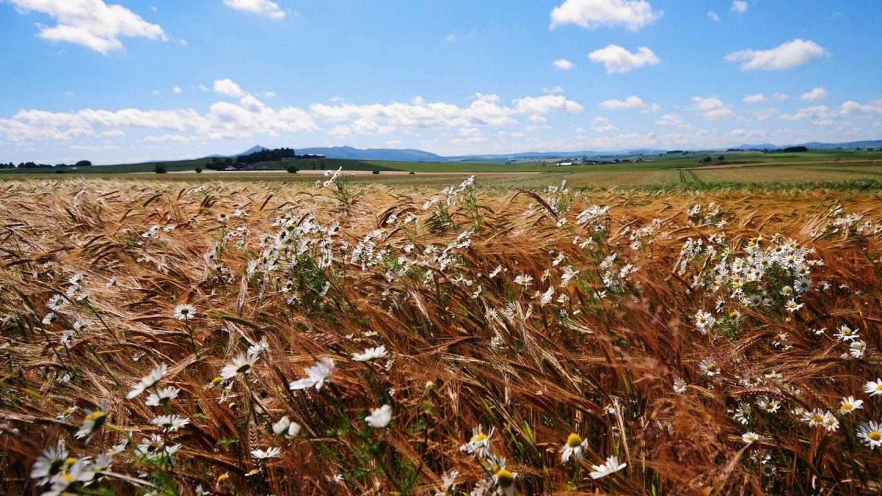 Wild flowers amongst a hay field on a beautiful hot summer's day near Daviot, Aberdeenshire