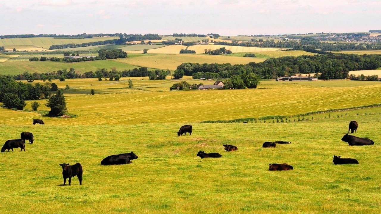Cattle sunbathe on a beautiful hot summer's day in the hills near Daviot, Aberdeenshire