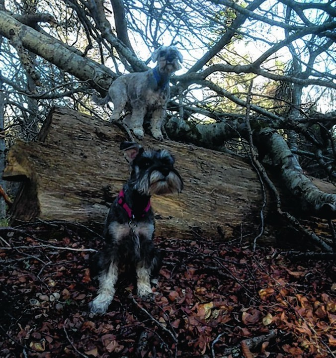Here are Harvey and Mitchell waiting in the woods. They live with Susan MacLellan in Evanton.