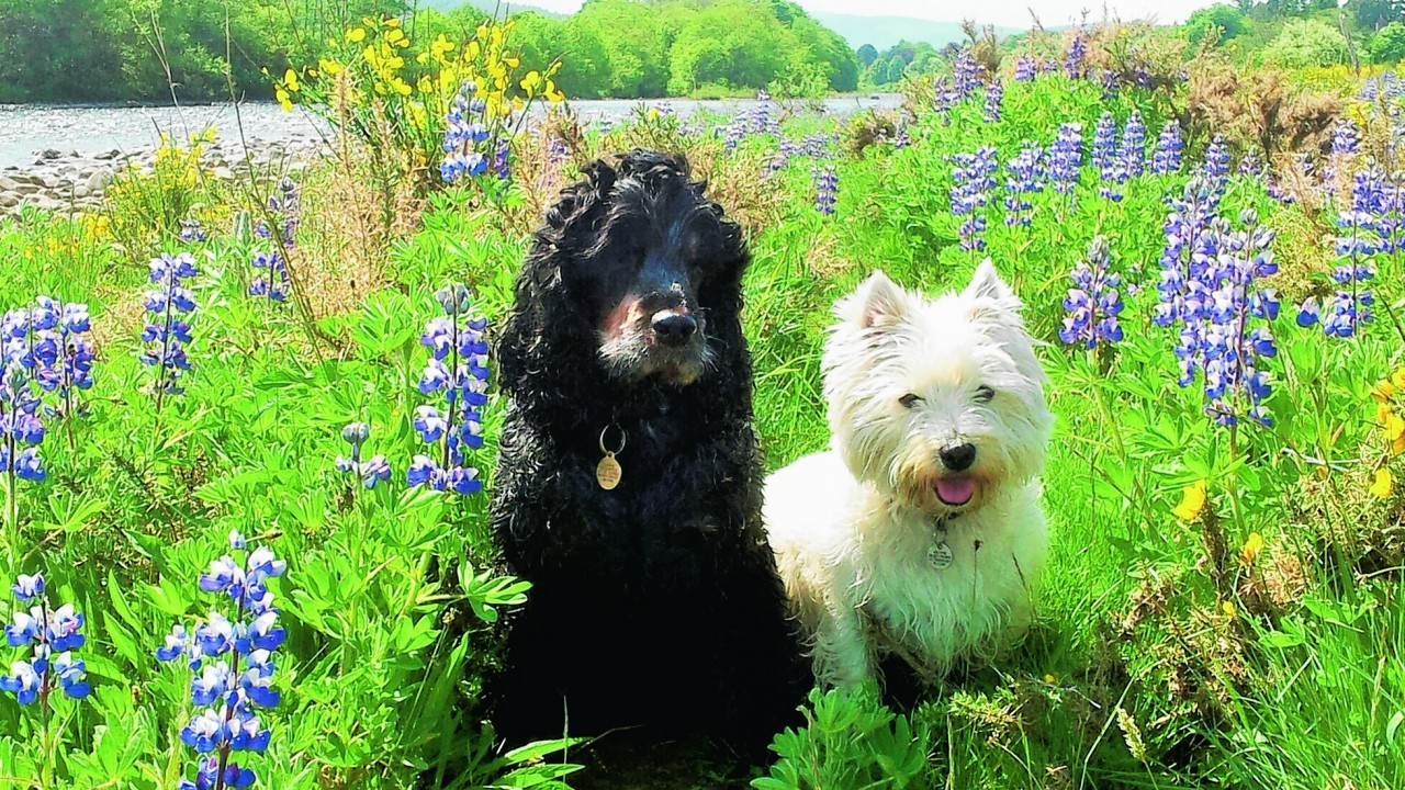 These are best friends Archie the cocker spaniel and Misty the westie at the River Dee in Aboyne.  They live with the Davidson family in Aboyne.