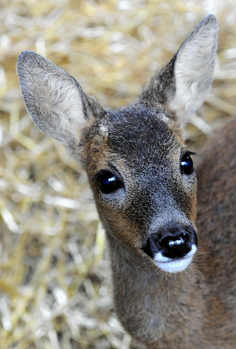 Bertha the deer - who was saved from the River Dee last year and found refuge at the New Arc