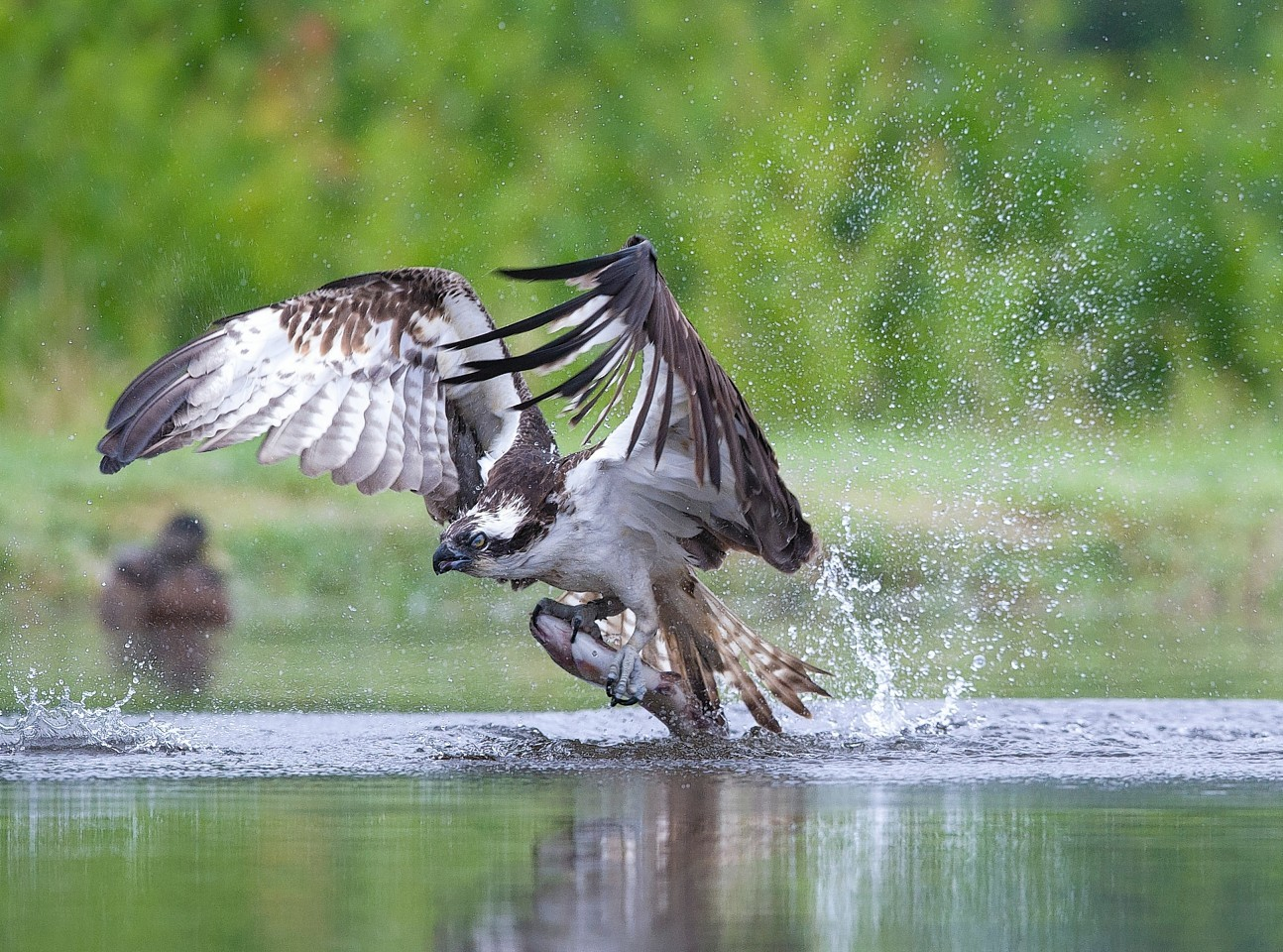 The Osprey lifts a fish from the water