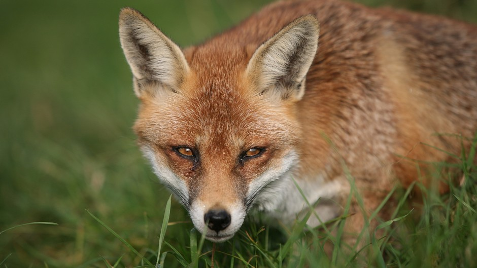 A fox in the wild