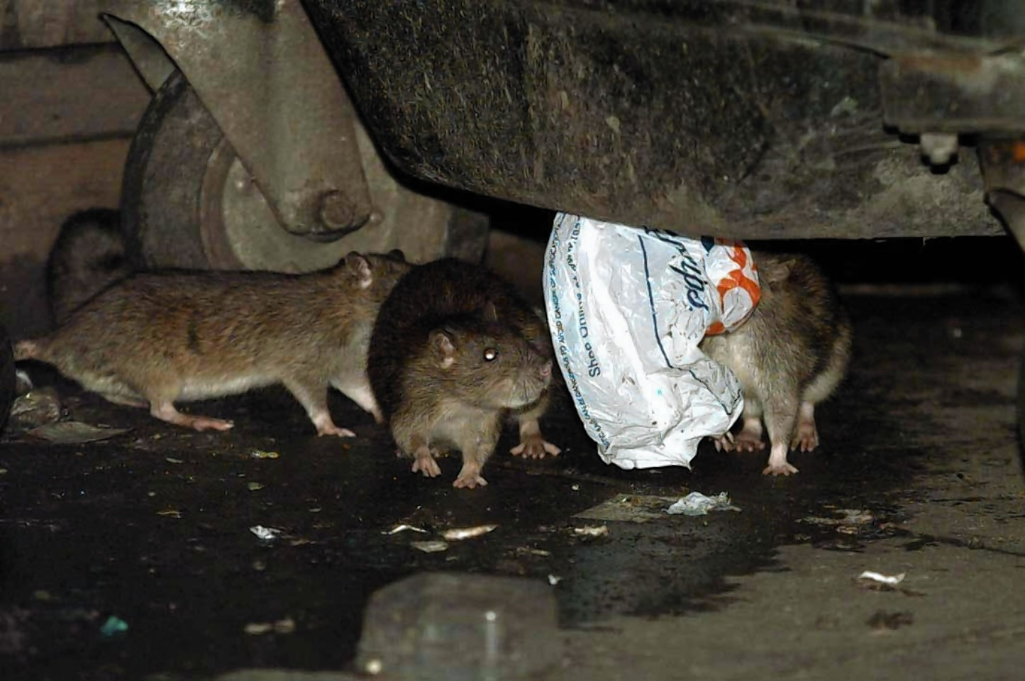 There are fears bin collection changes could mean an increase in chances of people contracting diseases from rats