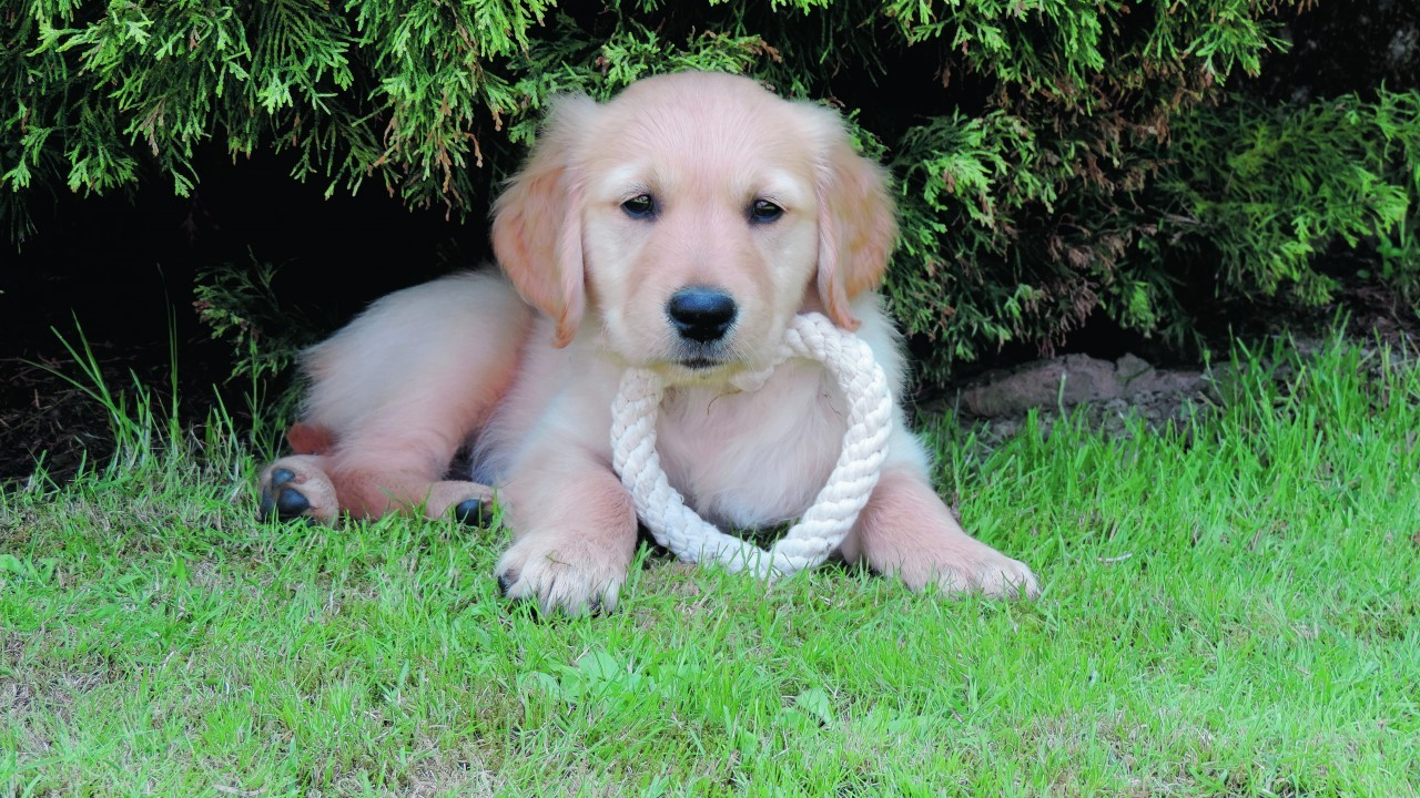 This is seven week old golden retriever Denver, who stays with Emma Murphy and Kevin Reid at Lower Blackburn, Dunlugas, Turriff. Denver is our winner this week.
