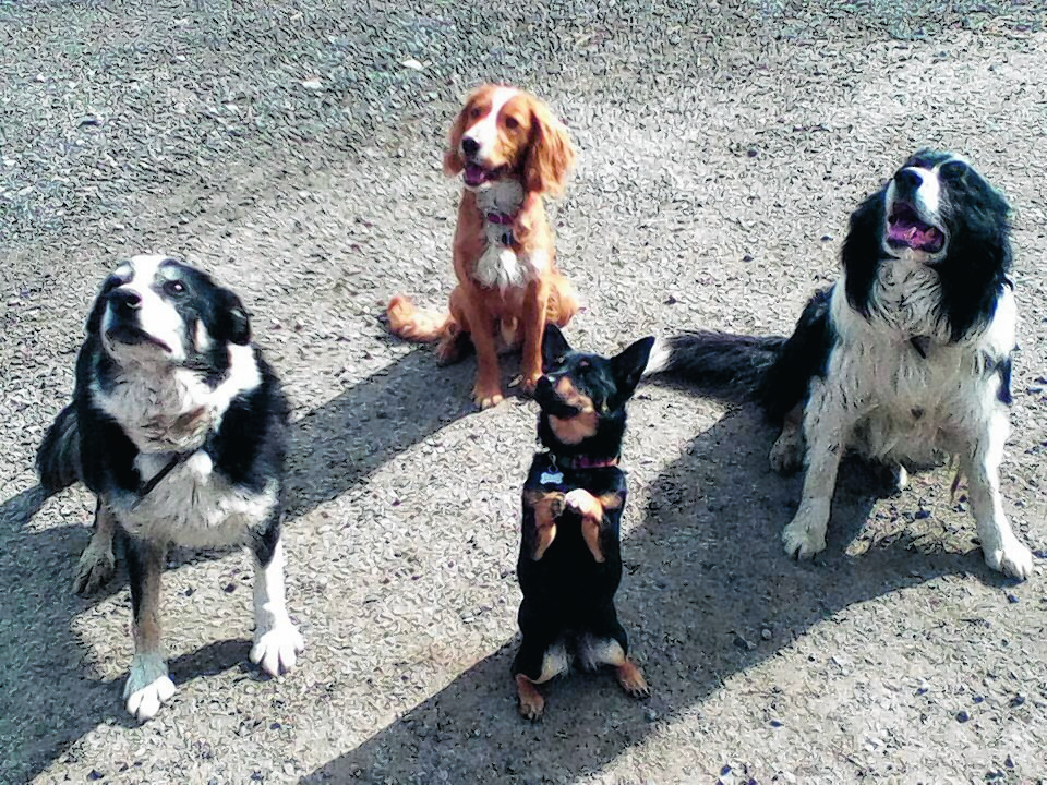 From left, border collie Jake, cocker spaniel Rory, Lancashire heeler Lily and border collie Ben. This group of friends all stay at Southbank, Skene. The collies are farm dogs, the heeler belongs to Carol Troup and the cocker to Alison Troup.
