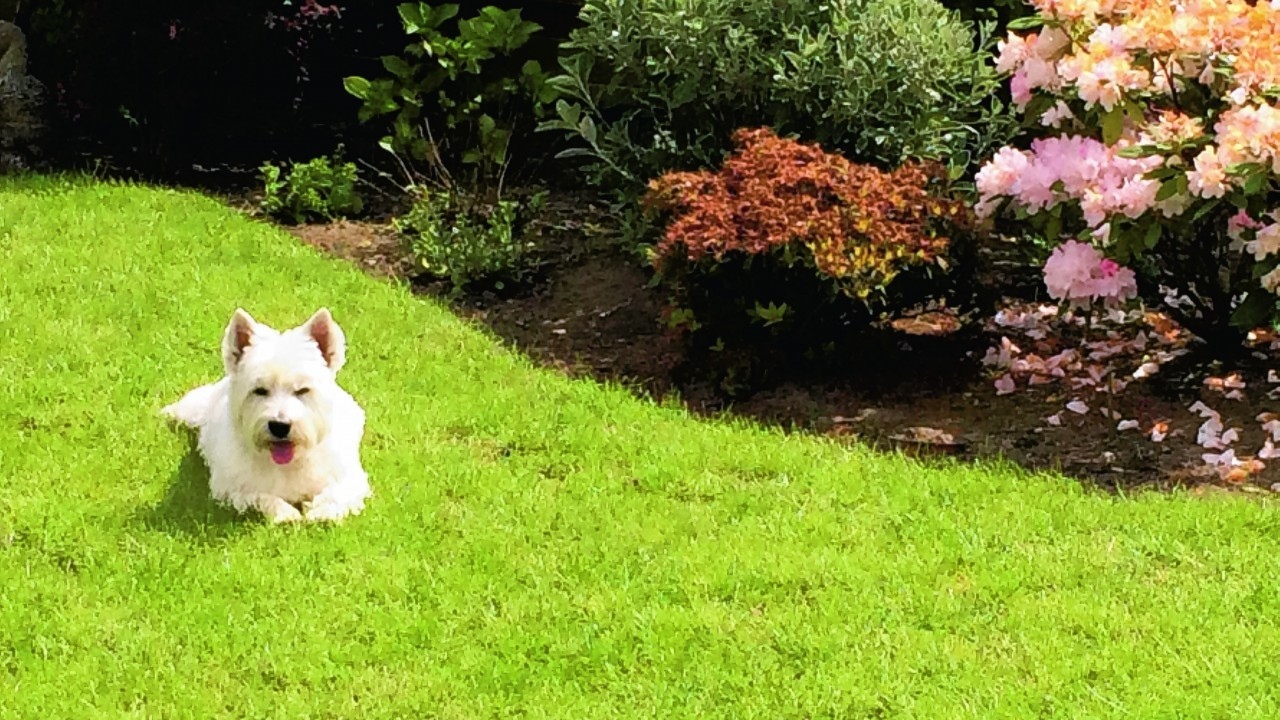 Here is Kirsty of Rothiemay enjoying some sunshine having finished her gardening duties for the day. Her owner, Liz McCombie, spends much of her day tending to Kirsty's many needs.