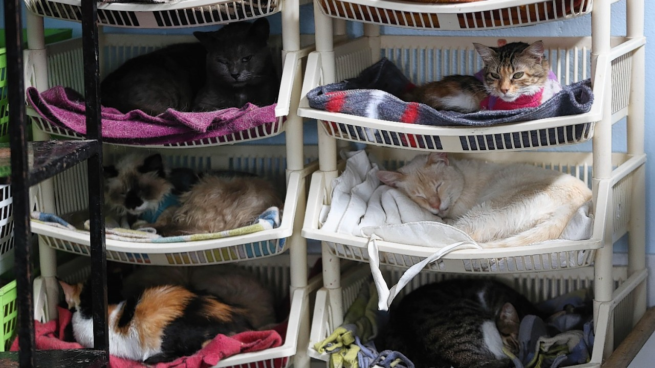 A Cat Hospice run by Maria Torero, cares for 175 cats with leukaemia in Lima, Peru.