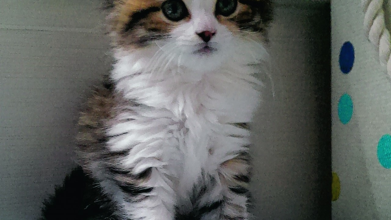 Seven-week-old kitten Smudge lives with Emily Beattie in Banchory
