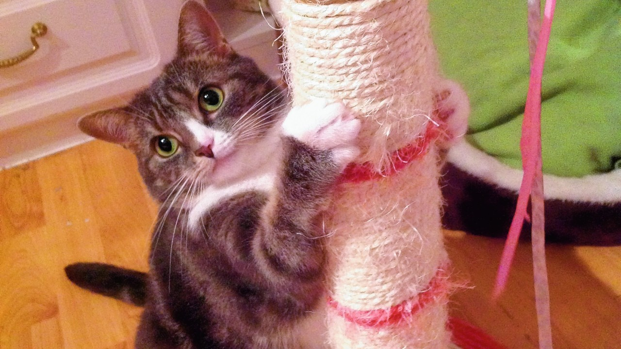Sox is four years old and loves her scratch pole. She lives with Susan Casey in Kincorth, Aberdeen