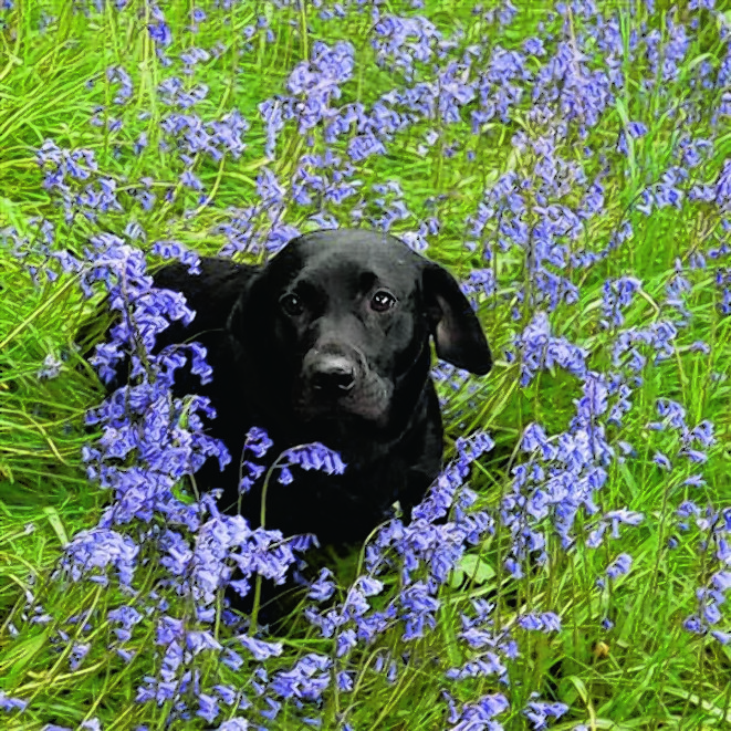 This is three-year-old Labrador Tiegan who is owned by Helen Matheson in North Kessock