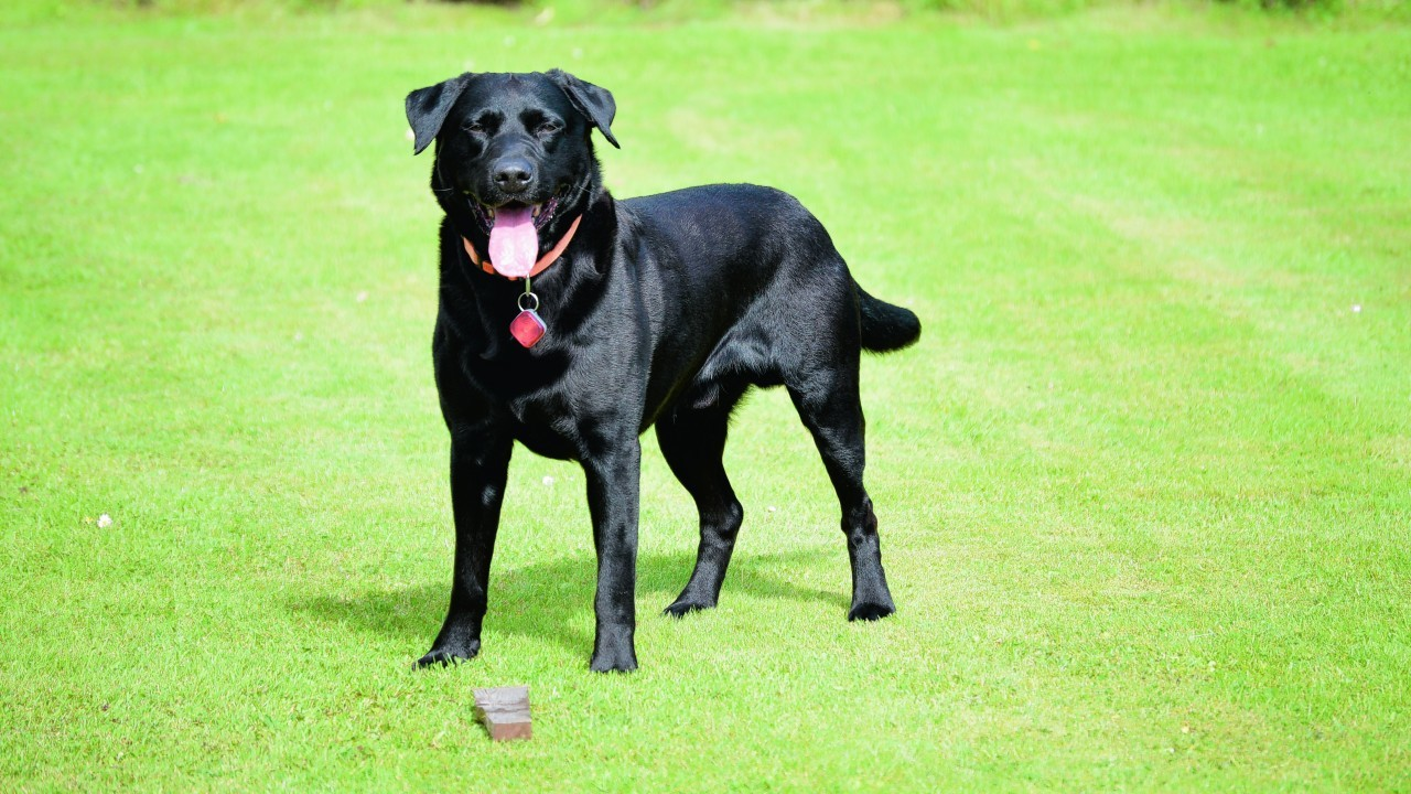 Fal the Lab lives with Mark Macintosh in Thurso.