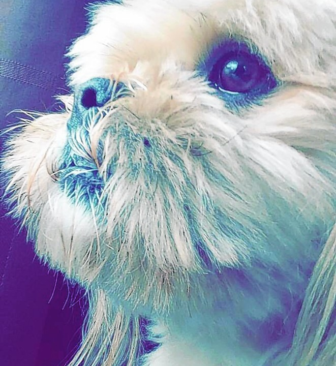 This is Jinky, a four-year-old Lhasa apso who lives with 11-year-old Taylor Kinnear in Dingwall.
