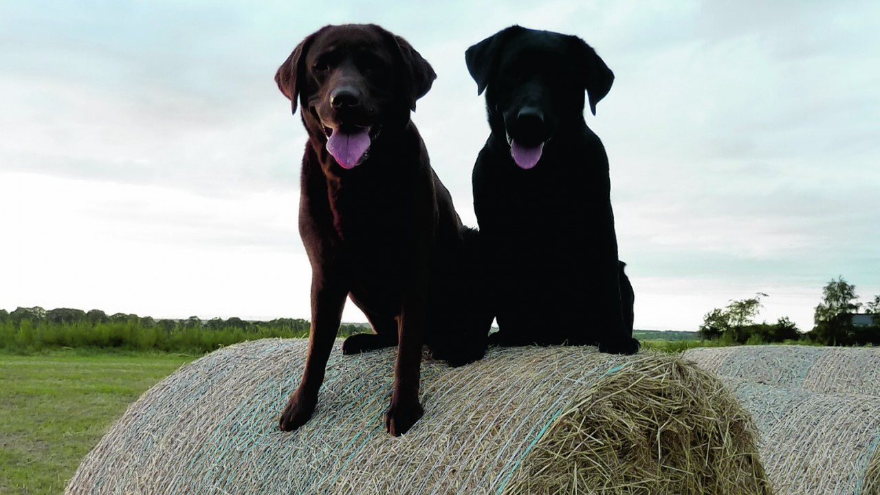Here are Jura and Dulsie enjoying a rest after making hay near Nairn. They live with the Hantons in Culcharry, Nairn.
