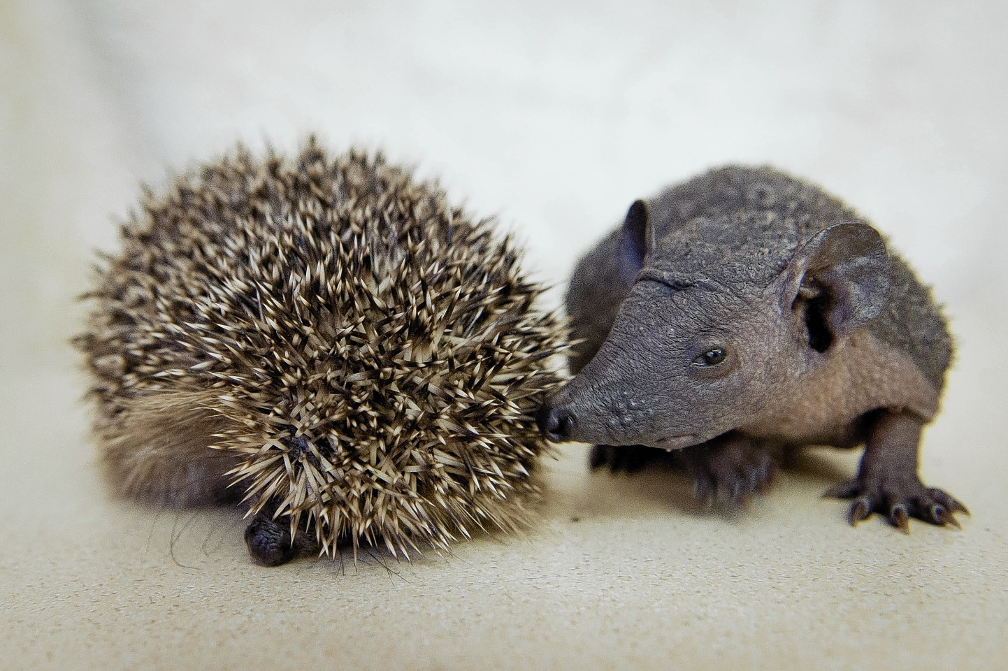 Baldy the baby hedgehog (the one without spikes...!)