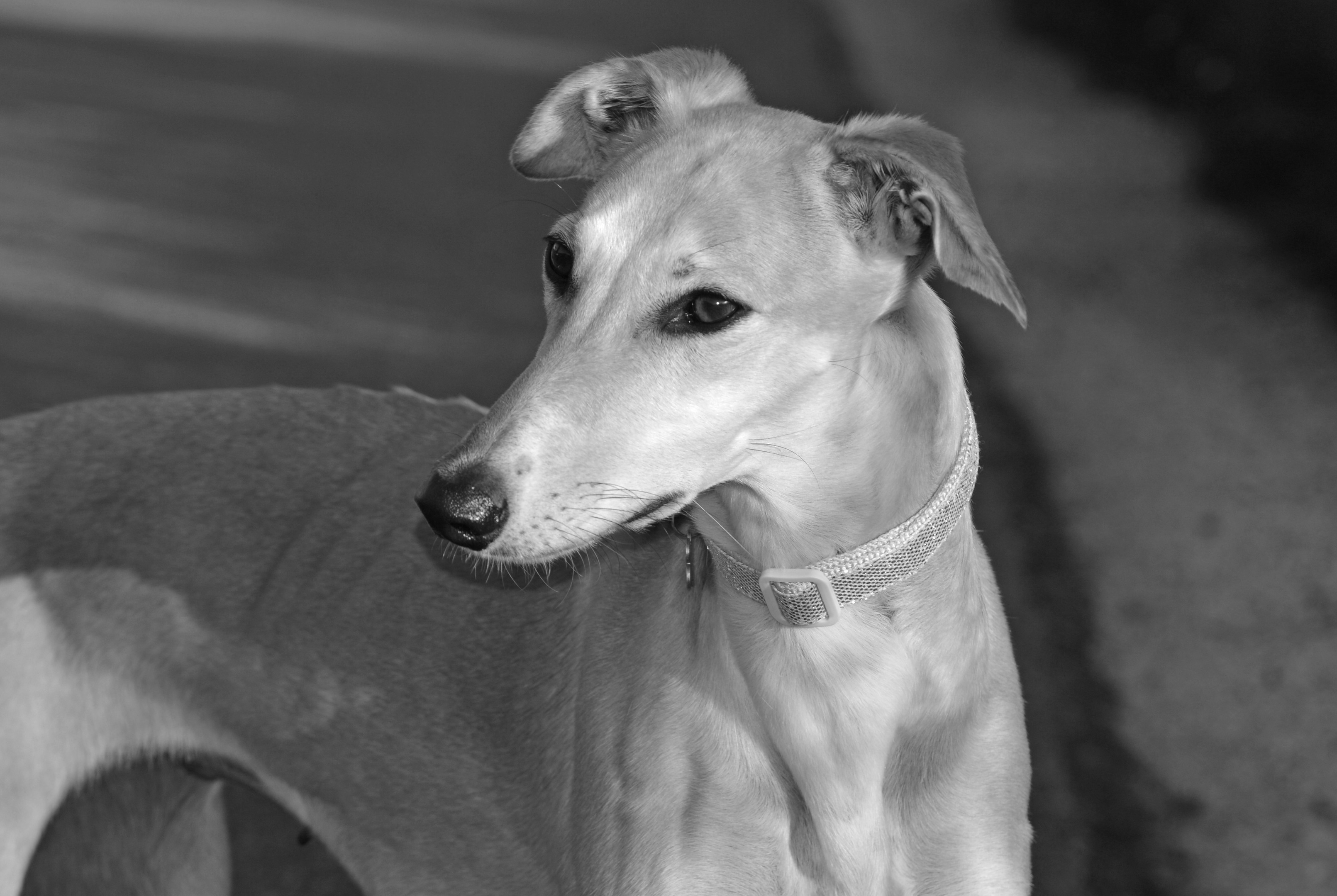 Two year old rescue lurcher Katy lives withSarah Bell in Kinlochbervie. She is our winner this week.