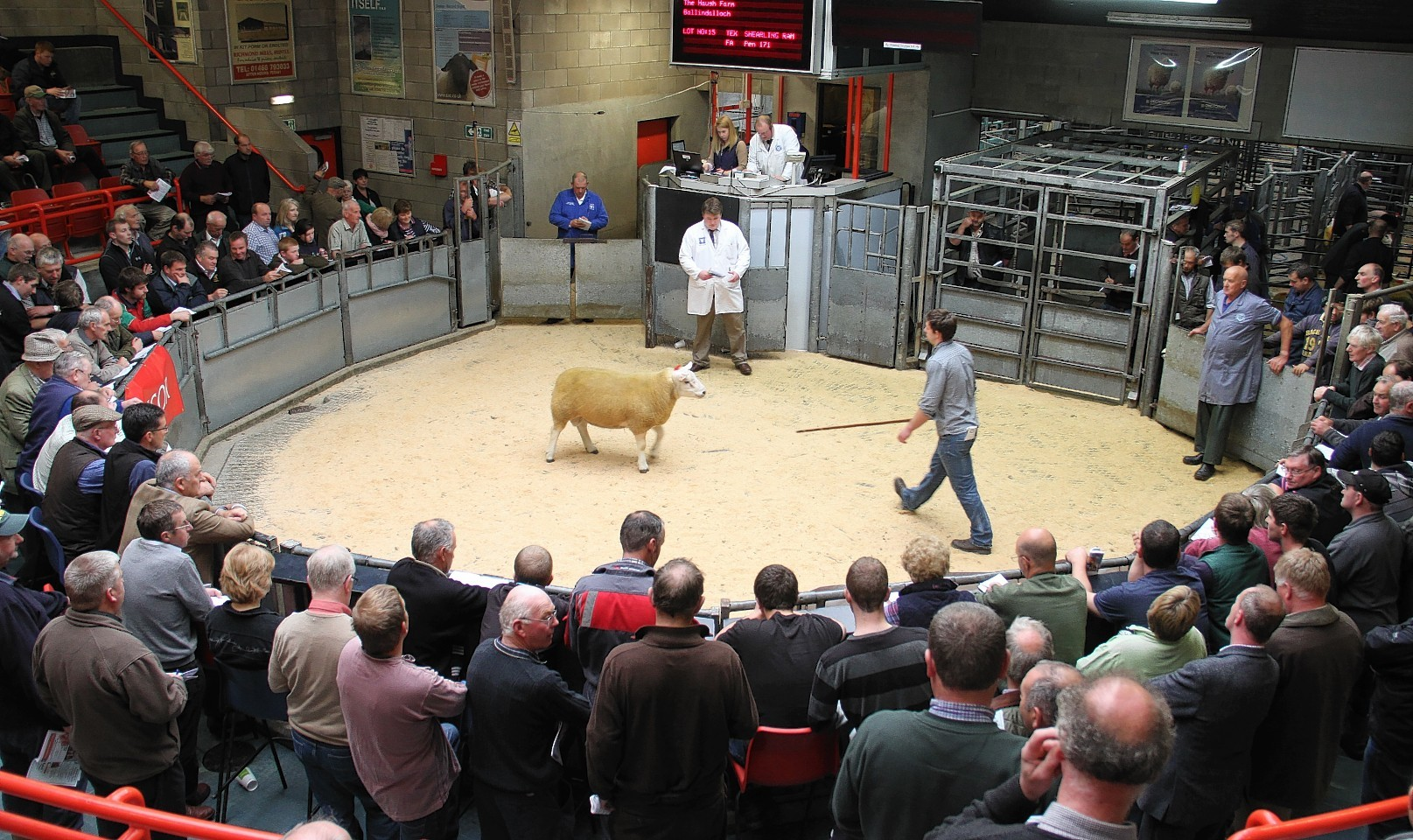 A ram goes under the hammer at Thainstone
