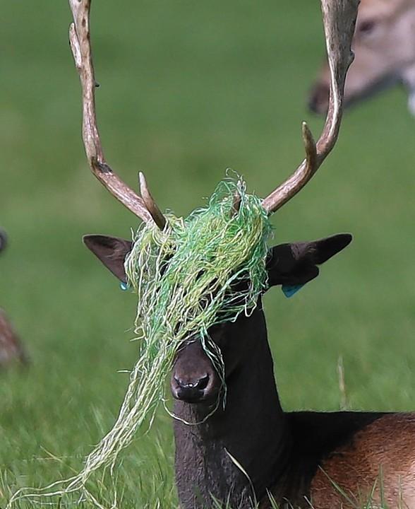 A deer in Phoenix Park, Dublin