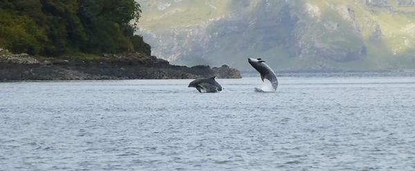 Dolphins in Tobermory Bay. Picture by Tobermory RNLI