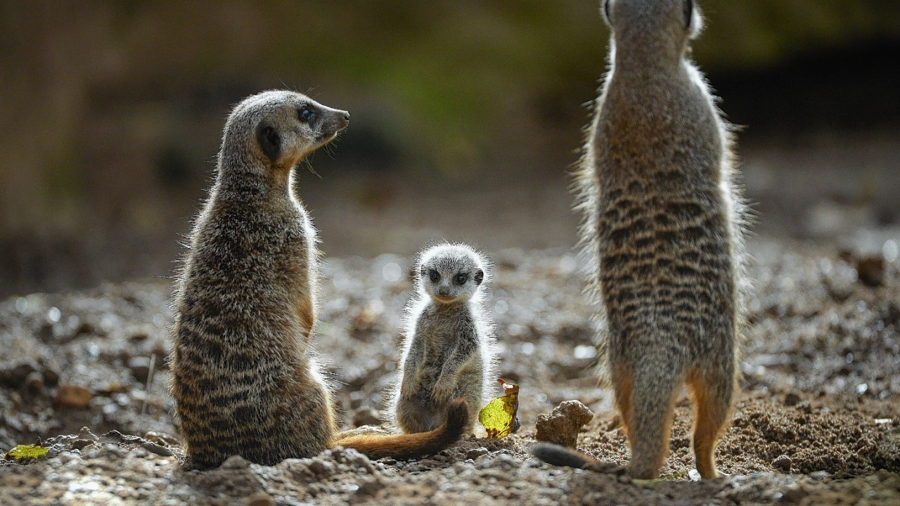 Meerkats could go on show at the new Fife Zoo