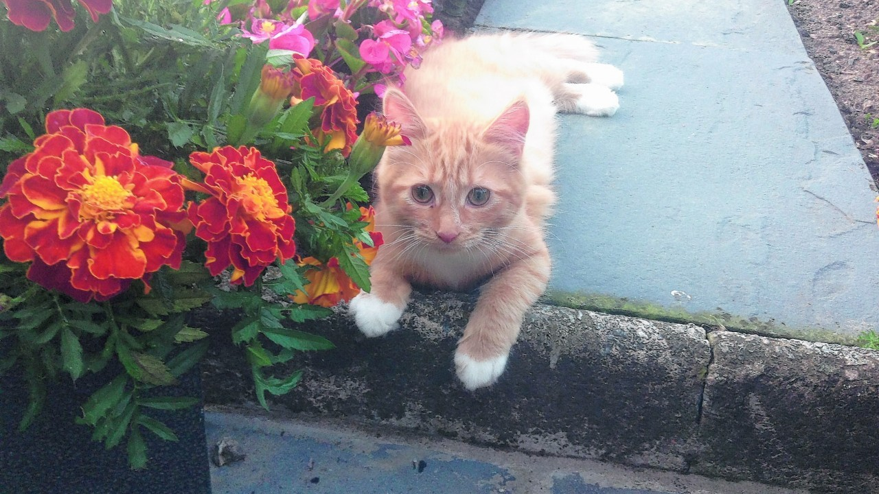 Ginger lives with Sarah Keir at Whitehouse, Alford.