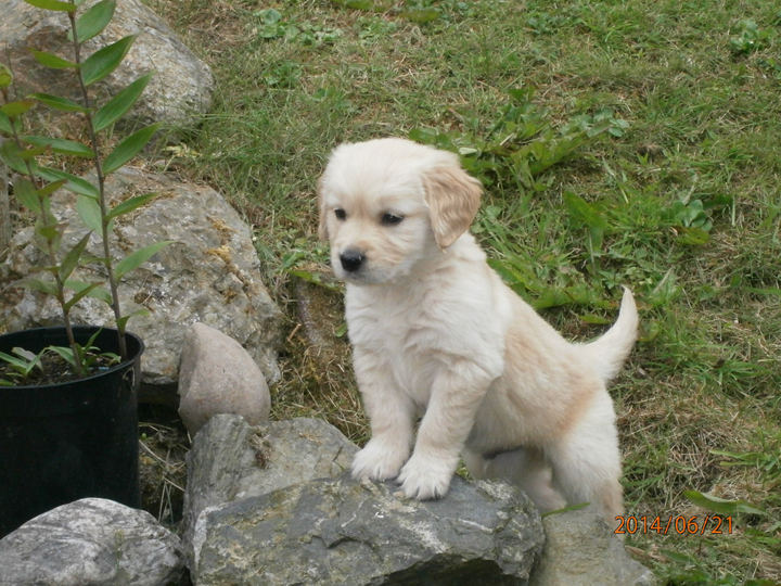 Spiv the golden retriever puppy lives in Ellon with Andrew and Susan Stewart.