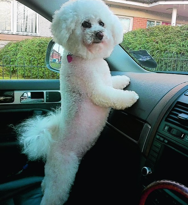This is Poppy the adorable bichon frise who lives in Daviot near inverness with Annie Macleod.